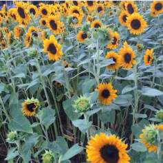 Sunflowers on Westchester